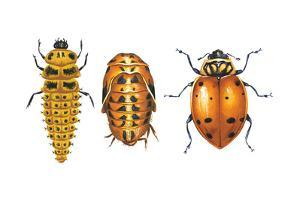 Ladybird Beetle Larva, Pupa and Adult (Coccinellidae), Ladybug, Insects by Encyclopaedia Britannica