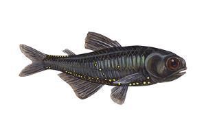 Lantern Fish (Myctophum Affine), Fishes by Encyclopaedia Britannica
