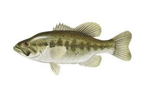 Largemouth Bass (Micropterus Salmoides), Fishes by Encyclopaedia Britannica