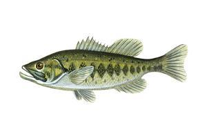 Largemouth Black Bass (Micropterus Salmoides), Fishes by Encyclopaedia Britannica
