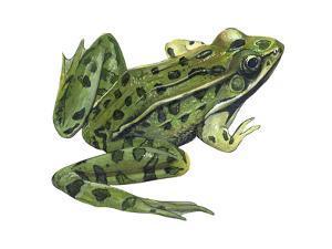 Leopard Frog (Rana Pipiens), Amphibians by Encyclopaedia Britannica