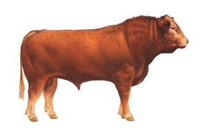 Limousin Bull, Beef Cattle, Mammals by Encyclopaedia Britannica