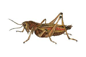 Lubber Grasshopper (Dictyophorus Reticulatus), Insects by Encyclopaedia Britannica