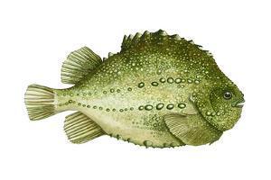 Lumpfish (Cyclopterus Lumpus), Fishes by Encyclopaedia Britannica
