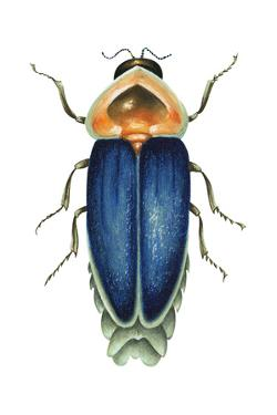 Male Firefly (Lampyridae), Insects by Encyclopaedia Britannica