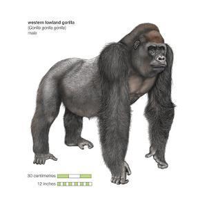 Male Western Lowland Gorilla (Gorilla Gorilla Gorilla), Ape, Mammals by Encyclopaedia Britannica