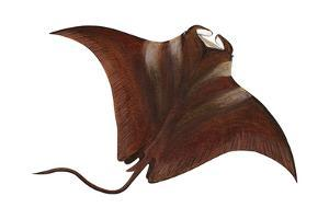 Manta (Manta Birostris), Fishes by Encyclopaedia Britannica