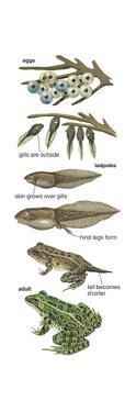 Metamorphosis of Leopard Frog (Rana Pipiens), Amphibians, Biology by Encyclopaedia Britannica