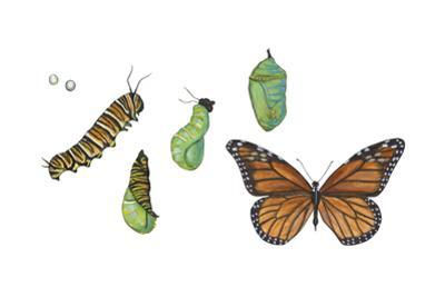 Monarch Butterfly Metamorphosis (Danaus Plexippus), Insects by Encyclopaedia Britannica