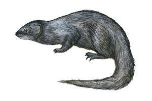 Mongoose (Herpestes Nyula), Mammals by Encyclopaedia Britannica