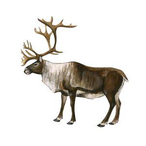 Mountain Caribou (Rangifer Montanus), Mammals by Encyclopaedia Britannica