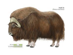 Musk-Ox (Obivos Moschatus), Mammals by Encyclopaedia Britannica