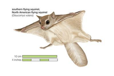 North American Flying Squirrel (Glaucomys Volans), Southern Flying Squirrel, Mammals by Encyclopaedia Britannica