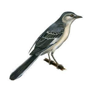 Northern Mockingbird (Mimus Polyglottos), Birds by Encyclopaedia Britannica