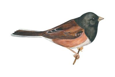 Oregon Junco (Junco Hyemalis Oreganus), Birds