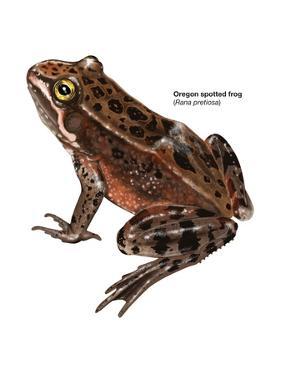 Oregon Spotted Frog (Rana Pretiosa), Amphibians by Encyclopaedia Britannica