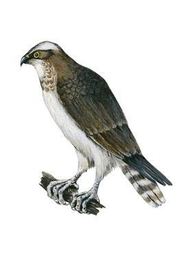 Osprey (Pandion Haliaetus), Fish Hawk, Birds by Encyclopaedia Britannica