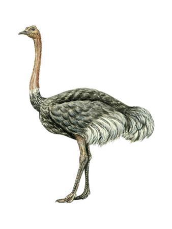 Ostrich (Struthio Camelus), Birds by Encyclopaedia Britannica