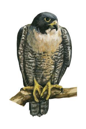 Peregrine Falcon (Falco Peregrinus), Duck Hawk, Birds