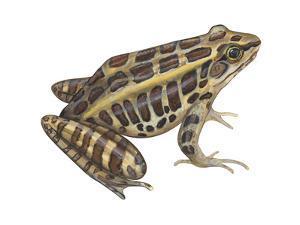 Pickerel Frog (Rana Palustris), Amphibians by Encyclopaedia Britannica