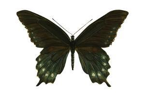 Pipevine Swallowtail (Battus Philenor), Insects by Encyclopaedia Britannica