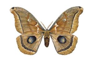 Polyphemus Moth (Telea Polyphemus), Insects by Encyclopaedia Britannica
