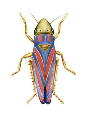 Red-Banded Leafhopper (Graphocephala Coccinea), Insects by Encyclopaedia Britannica