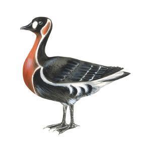 Red-Breasted Goose (Branta Ruficollis), Birds by Encyclopaedia Britannica