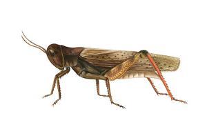 Red-Legged Grasshopper (Melanoplus Femur-Rubrum), Insects by Encyclopaedia Britannica