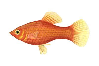 Red Platy (Xiphophorus Maculatus), Fishes by Encyclopaedia Britannica