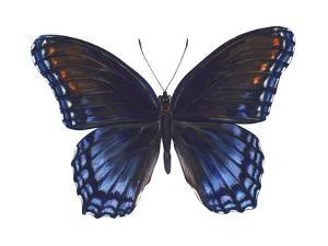 Red-Spotted Purple Butterfly (Basilarchia Astyanax), Insects by Encyclopaedia Britannica