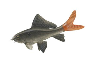 """Red-Tailed Black """"Shark"""" (Labeo Bicolor), Fishes by Encyclopaedia Britannica"""