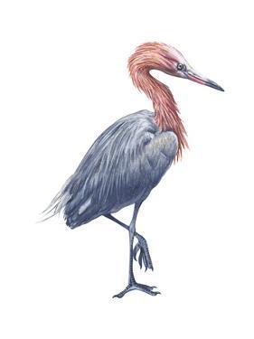 Reddish Egret (Dichromanassa Rufescens), Birds by Encyclopaedia Britannica