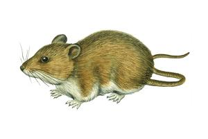 Rice Rat (Oryzomys Palustris), Mammals by Encyclopaedia Britannica