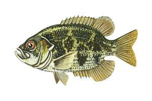 Rock Bass (Ambloplites Rupenstris), Fishes by Encyclopaedia Britannica