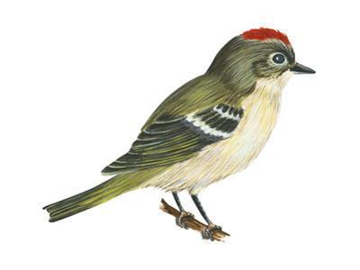 Ruby-Crowned Kinglet (Regulus Calendula), Bird