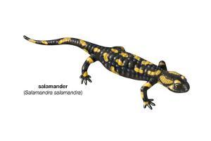 Salamander (Salamandra Salamandra), Amphibians by Encyclopaedia Britannica