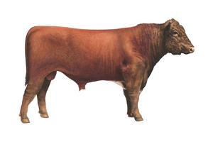 Shorthorn Bull, Beef Cattle, Mammals by Encyclopaedia Britannica