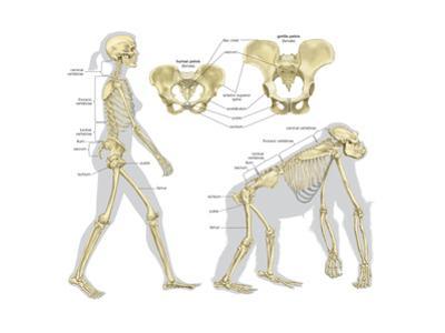 Skeletal Comparison of a Modern Human (A Biped) and a Gorilla (A Quadruped). Evolution by Encyclopaedia Britannica