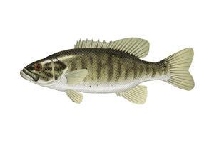 Smallmouth Bass (Micropterus Dolomieui), Fishes by Encyclopaedia Britannica