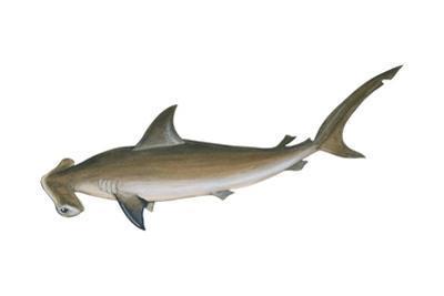 Smooth Hammerhead Shark (Sphyrna Zygaena), Fishes by Encyclopaedia Britannica