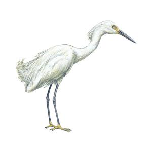 Snowy Egret (Leucophoyx Thula), Birds by Encyclopaedia Britannica
