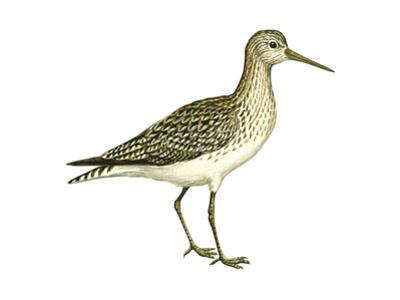 Solitary Sandpiper (Tringa Solitaria), Birds by Encyclopaedia Britannica