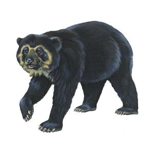 Spectacled Bear (Tremarctos Ornatus), Mammals by Encyclopaedia Britannica