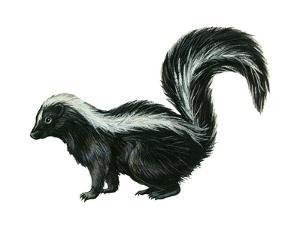 Striped Skunk (Mephitis Mephitis), Mammals by Encyclopaedia Britannica