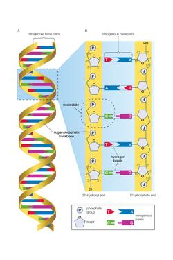Structure of Dna Molecule. Heredity, Genetics by Encyclopaedia Britannica
