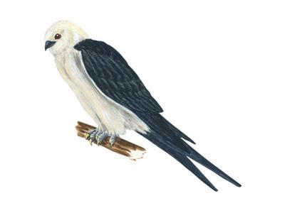 Swallow-Tailed Kite (Elanoides Forficatus), Birds