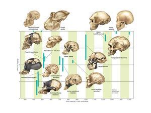 The Increase in Hominid Cranial Capacity over Time. Evolution by Encyclopaedia Britannica