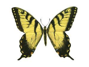 Tiger Swallowtail (Papilio Glaucus), Insects by Encyclopaedia Britannica