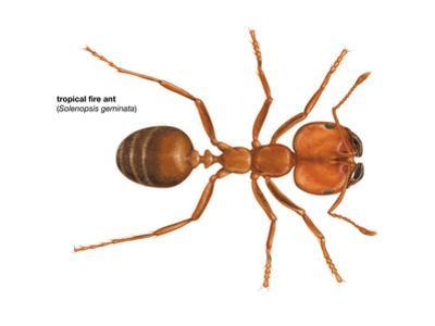 Tropical Fire Ant (Solenopsis Geminata), Insects by Encyclopaedia Britannica